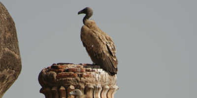 An Oriental White-backed Vulture perches atop a palace in India