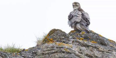 An adult Gyrfalcon perches on a rock in Alaska.