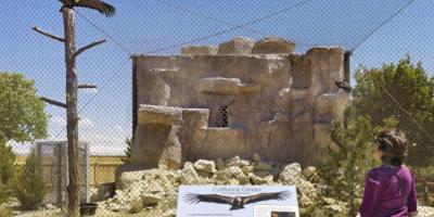 Visitor views two California Condors in outdoor enclosure at World Center for Birds of Prey