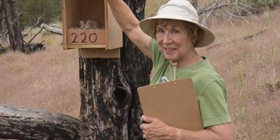 A citizen scientist checks a nest box for activity during breeding season