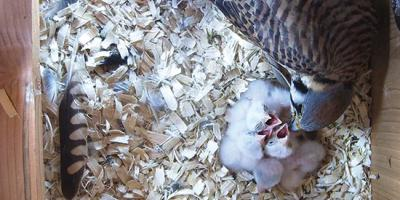 female kestrel feeds nestling inside a nest box
