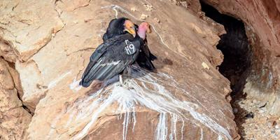 A pair of condors at the opening of their nest cave