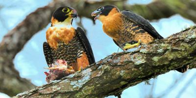 A pair of Orange-breasted Falcons with food