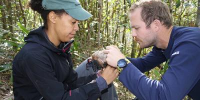 Biologists band a Puerto Rican Sharp-shinned Hawk