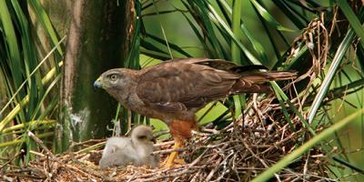adult and nestling Ridgway's Hawks at nest