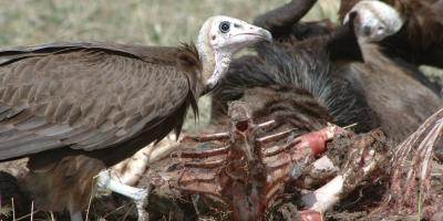 Hooded Vultures feed at a carcass