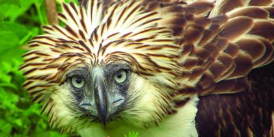 Philippine Eagle portrait